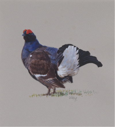 Blackcock | Ashley Book | Wildlife Artist