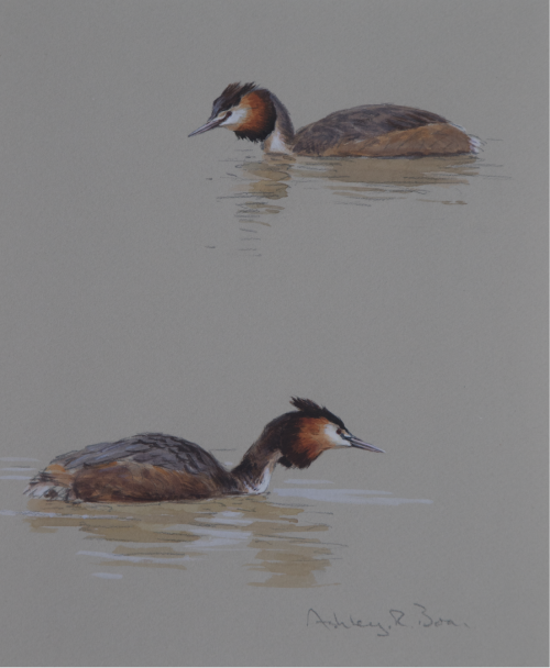 Great Crested Grebe Studies | Ashley Boon | Award Winning Wildlife Artist