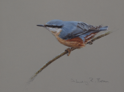 Nuthatch Study | Ashley Boon | Award Winning Wildlife Artist