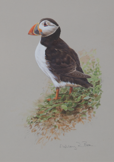 Puffin | Ashley Boon | Award Winning Wldlife Artist