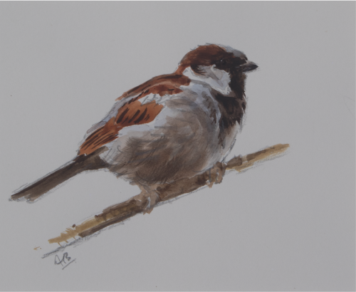 Cock House Sparrow Sketch | Ashley Boon | Wildlife Artist