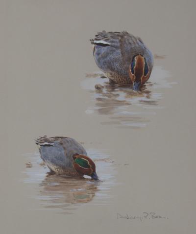 Cock Teals Feeding Watercolour | Ashley Boon | Wildlife Artist