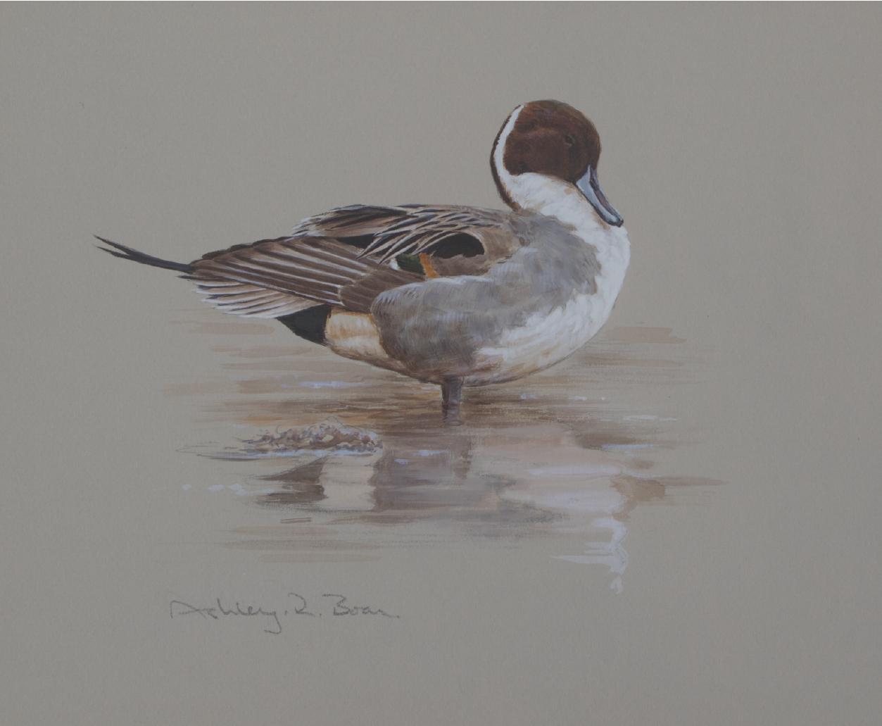 Drake Pintail, PreeningStudy | Ashely Boon | Wildlife artist