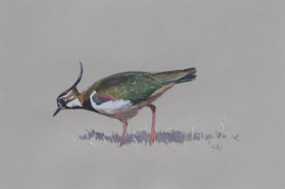 Lapwing   Ashley Boon   Award winning wildlife artist