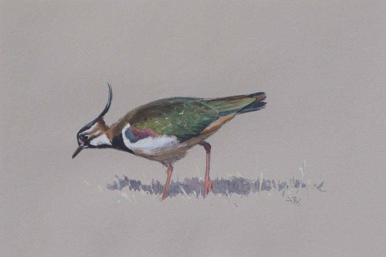 Lapwing | Ashley Boon | Award winning wildlife artist