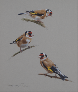 Goldfinch studies | Ashley Boon | Award Winning Wildlife artist