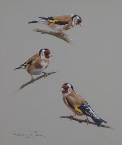 Goldfinch studies   Ashley Boon   Award Winning Wildlife artist