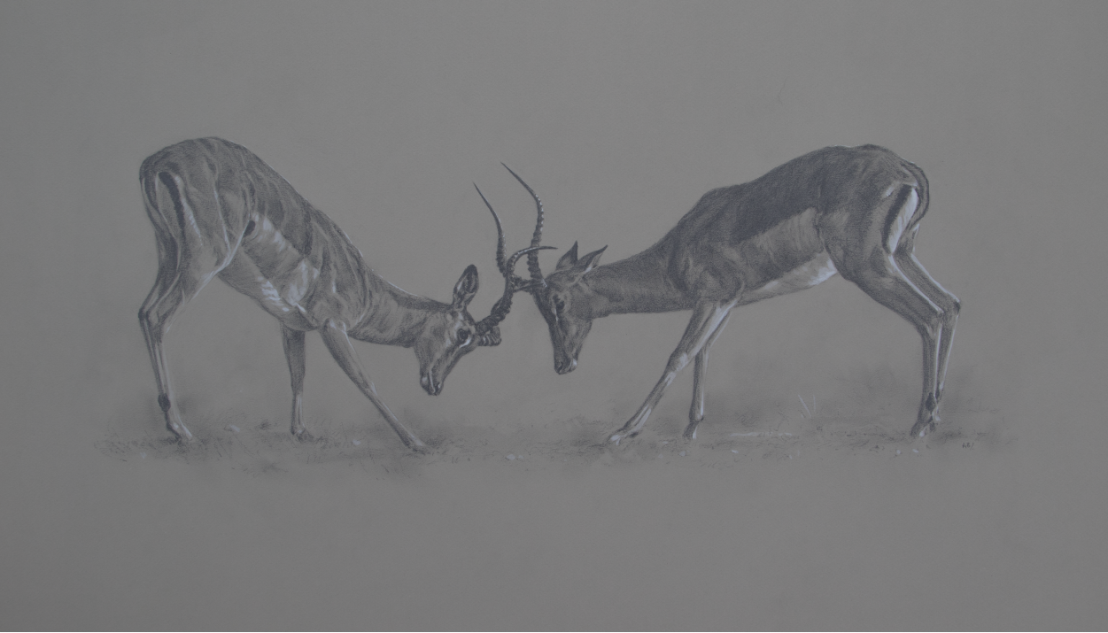 Impala Rams | Ashley Boon | Wildlife Artist