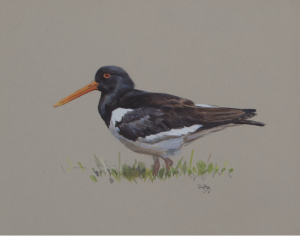 Oyster Catcher | Ashley Boon | Award Winning Wildlife Artist