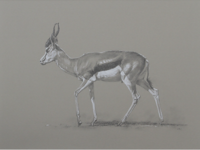 Springbok | Big Game | Ashley Boon | Wildlife Artist