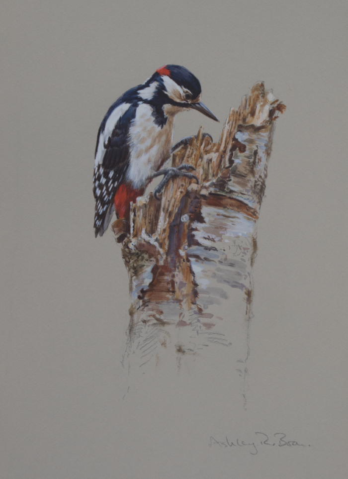 Great Spotted Woodpecker Watercolour   Ashley Boon   Wildlife Artist
