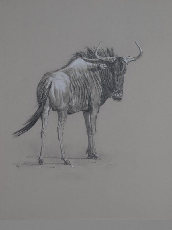 Blue Wildebeest Bull   Ashley Boon   Wildlife Artist