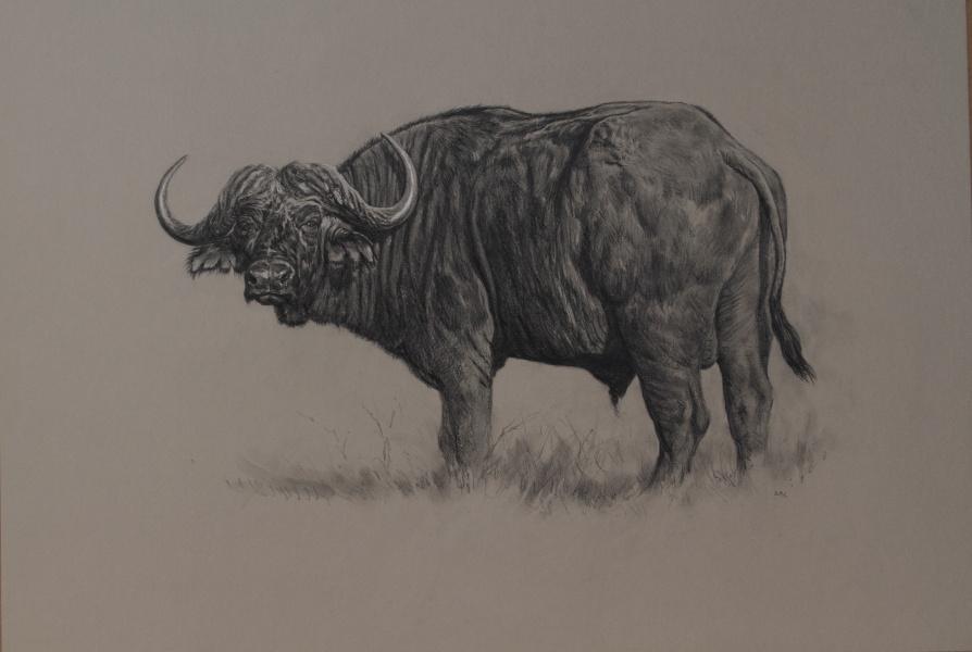 Cape Buffalo | Big Game Artwork | Ashley Boon | Wildlife Artist