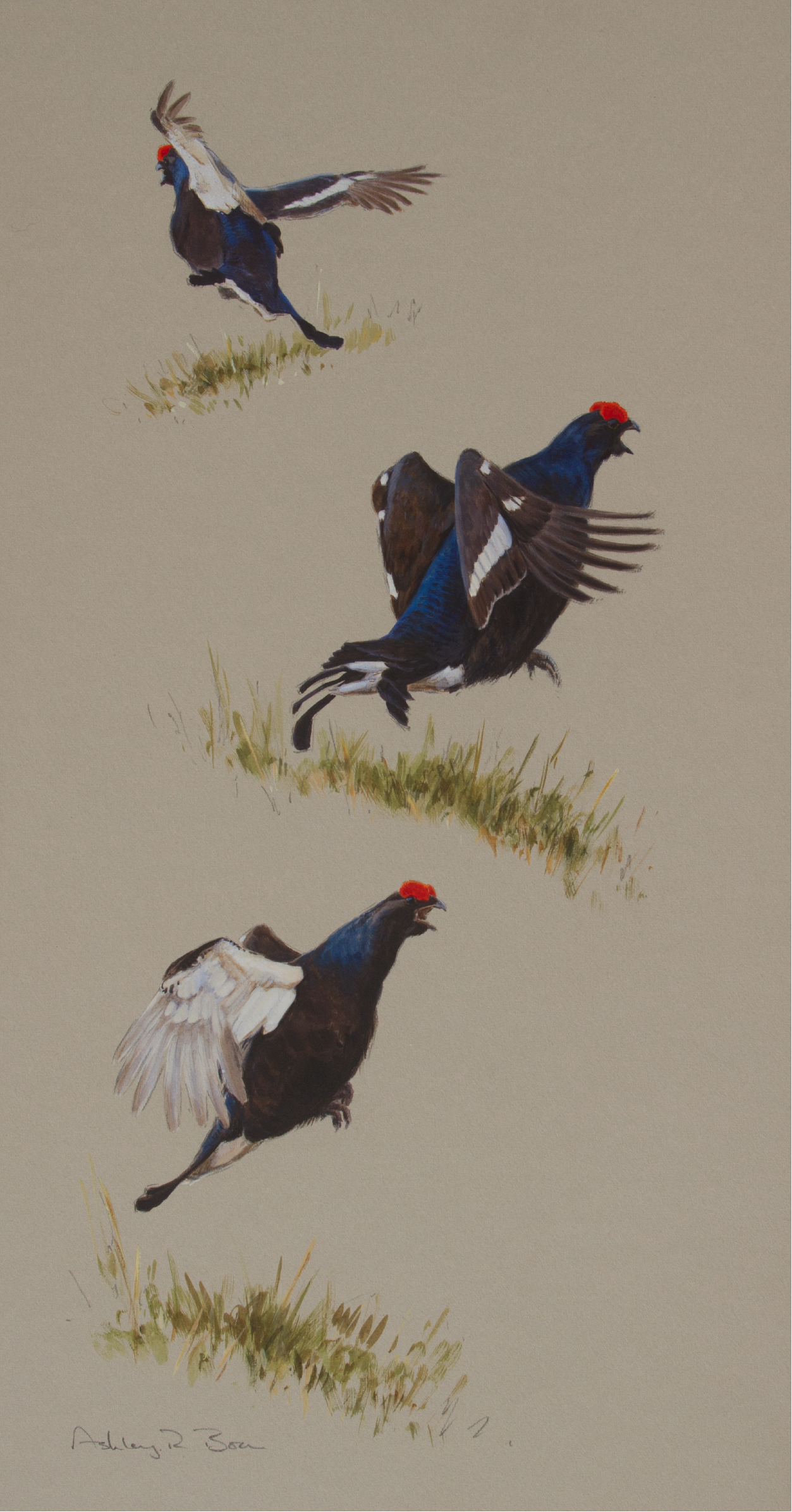 Lekking Blackgrouse | Ashley Boon | Wildlife Artist