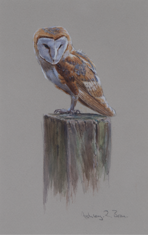 Barn Owl/ Images/Paintings/Art