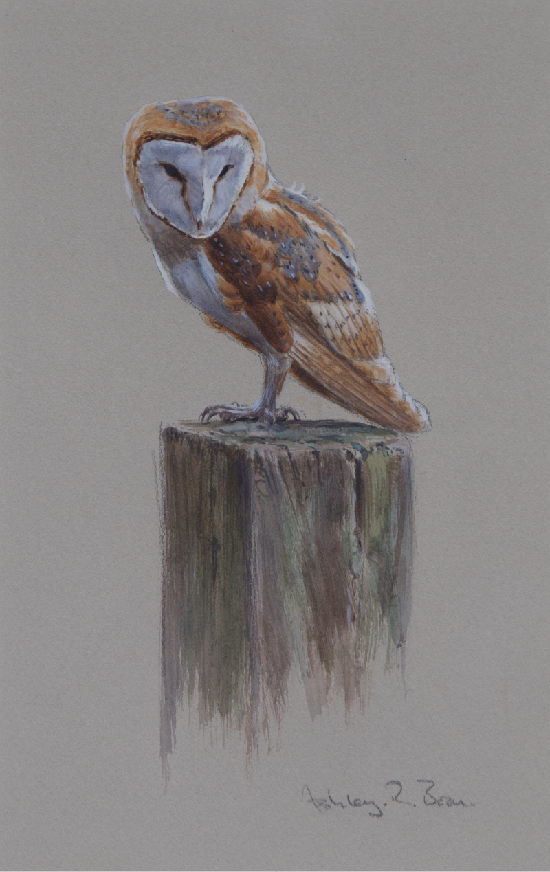 Barn Owl | Ashley Boon | Wildlife Artist