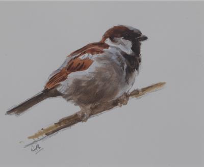 Cock House Sparrow Sketch | Ashley Boon | Wildlife Artist
