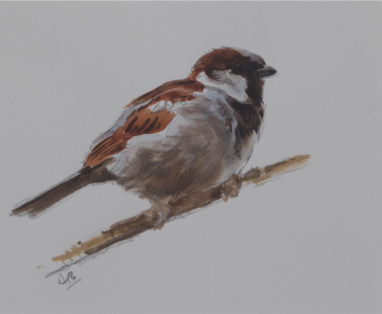 Cock House Sparrow Sketch   Ashley Boon   Wildlife Artist
