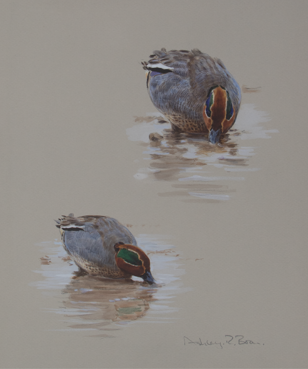 Cock Teals Feeding Watercolour | Ashley Boon | Wildlife Artist