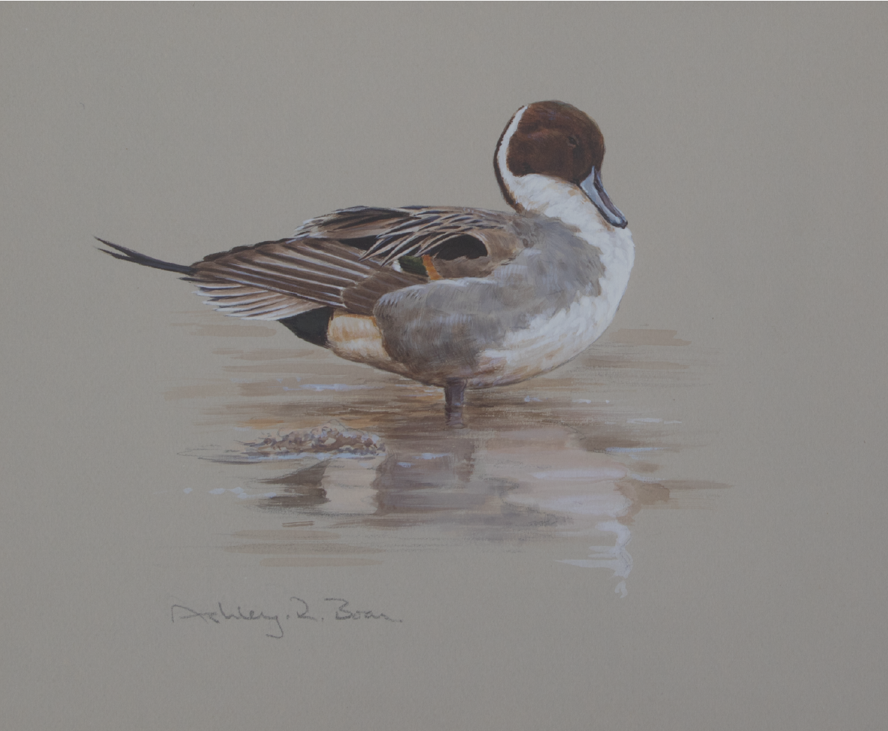 Drake Pintail, PreeningStudy | Ashely Boon | Wildlife artist