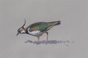 Lapwing | Ashley Boon | Award winning wildlife artist