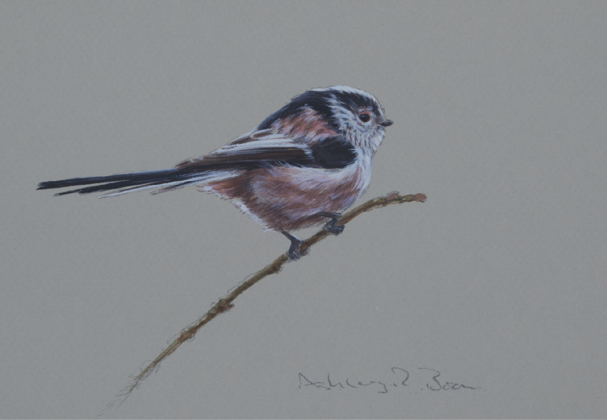Long-tailed Tit | Ashley Boon | Award Winning Wildlife Artist