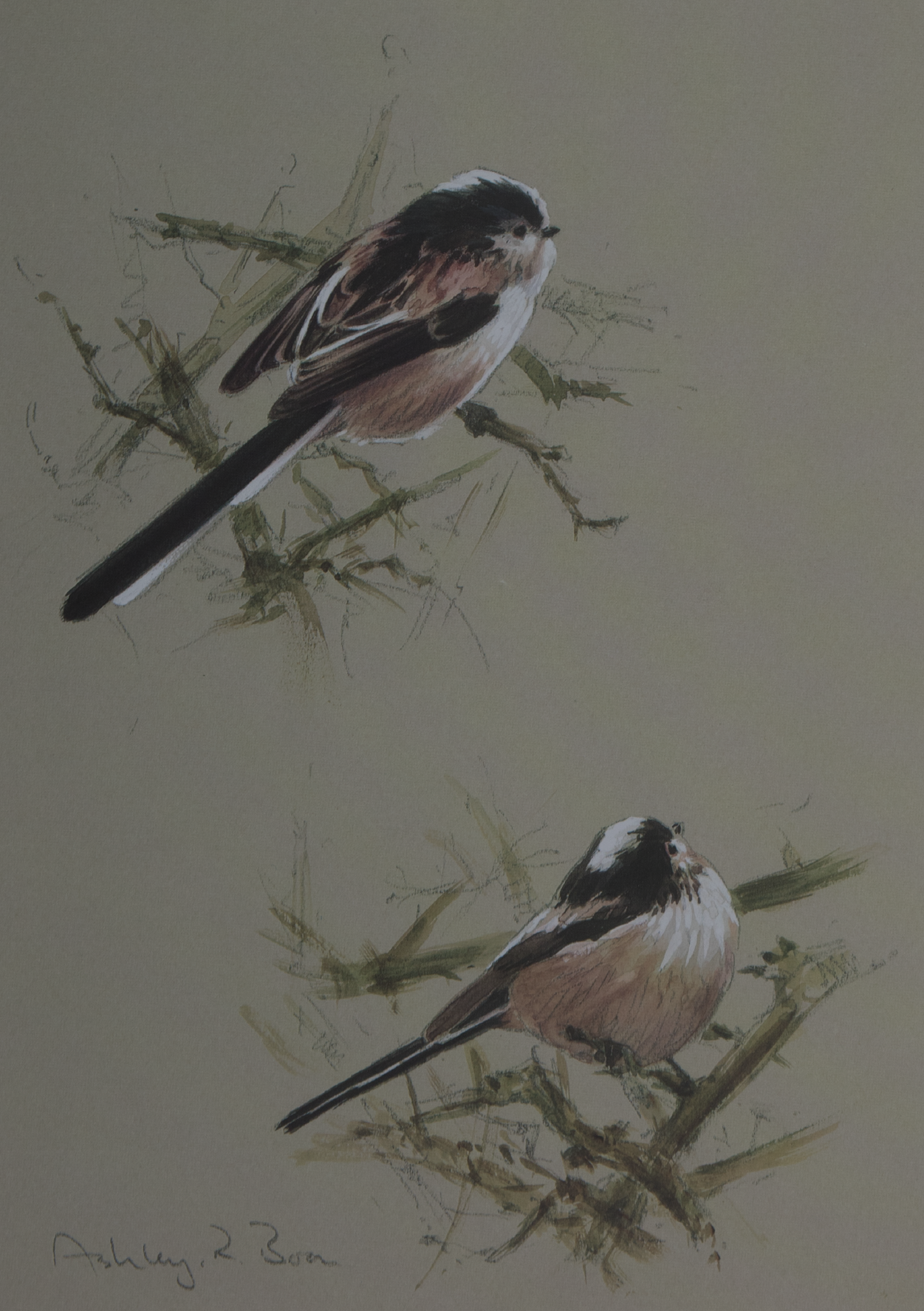 Long-tailed Tit/ Titmice/ British/Garden Birds/ Images/Paintings/Art