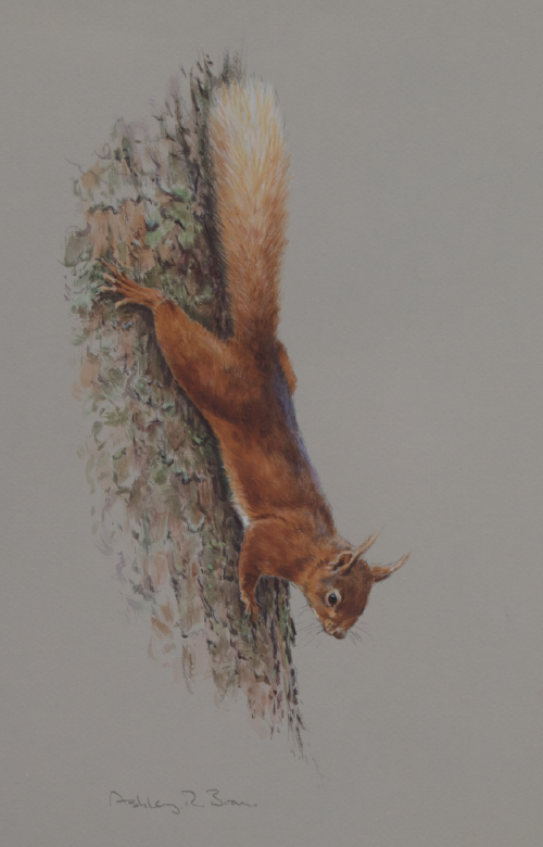 Red Squirrel/ Images/Paintings/Art