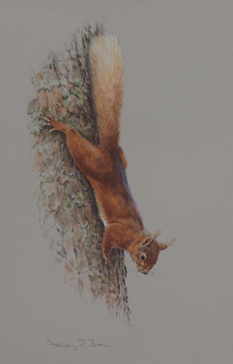 Red Squirrel Watercolour | Ashley Boon | Wildlife Artist