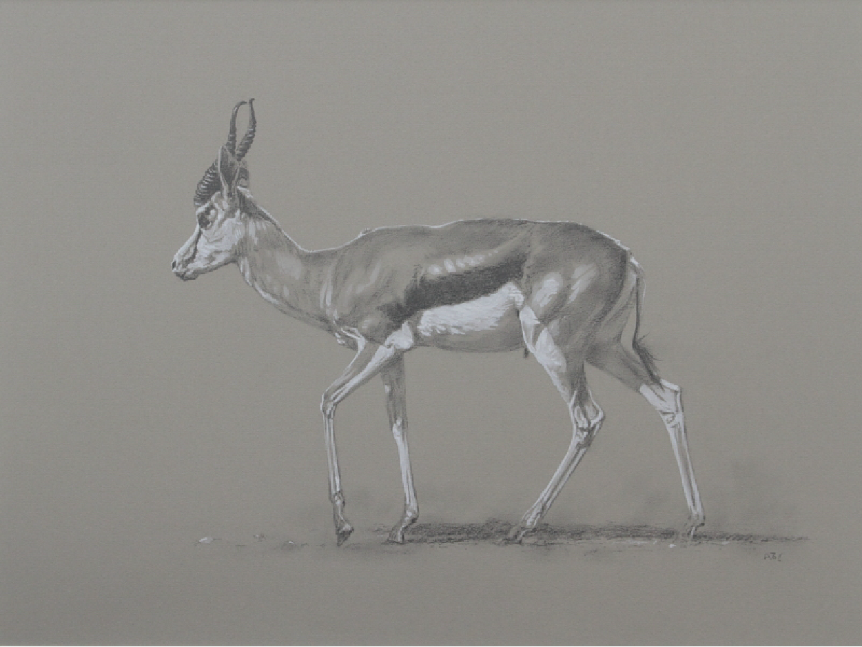 Springbok | Big Game | Ashley Boon | Wildlife Artist